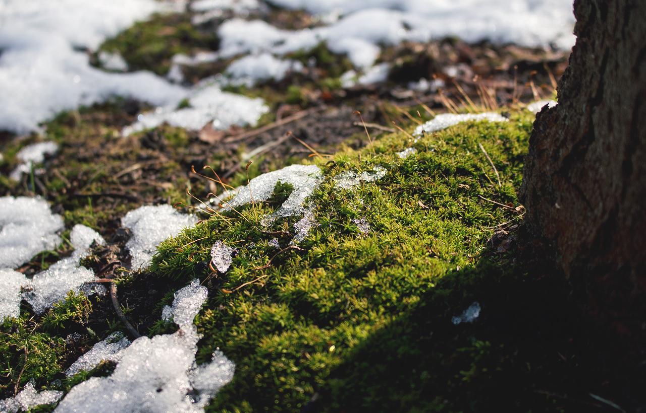 sniegmechcien