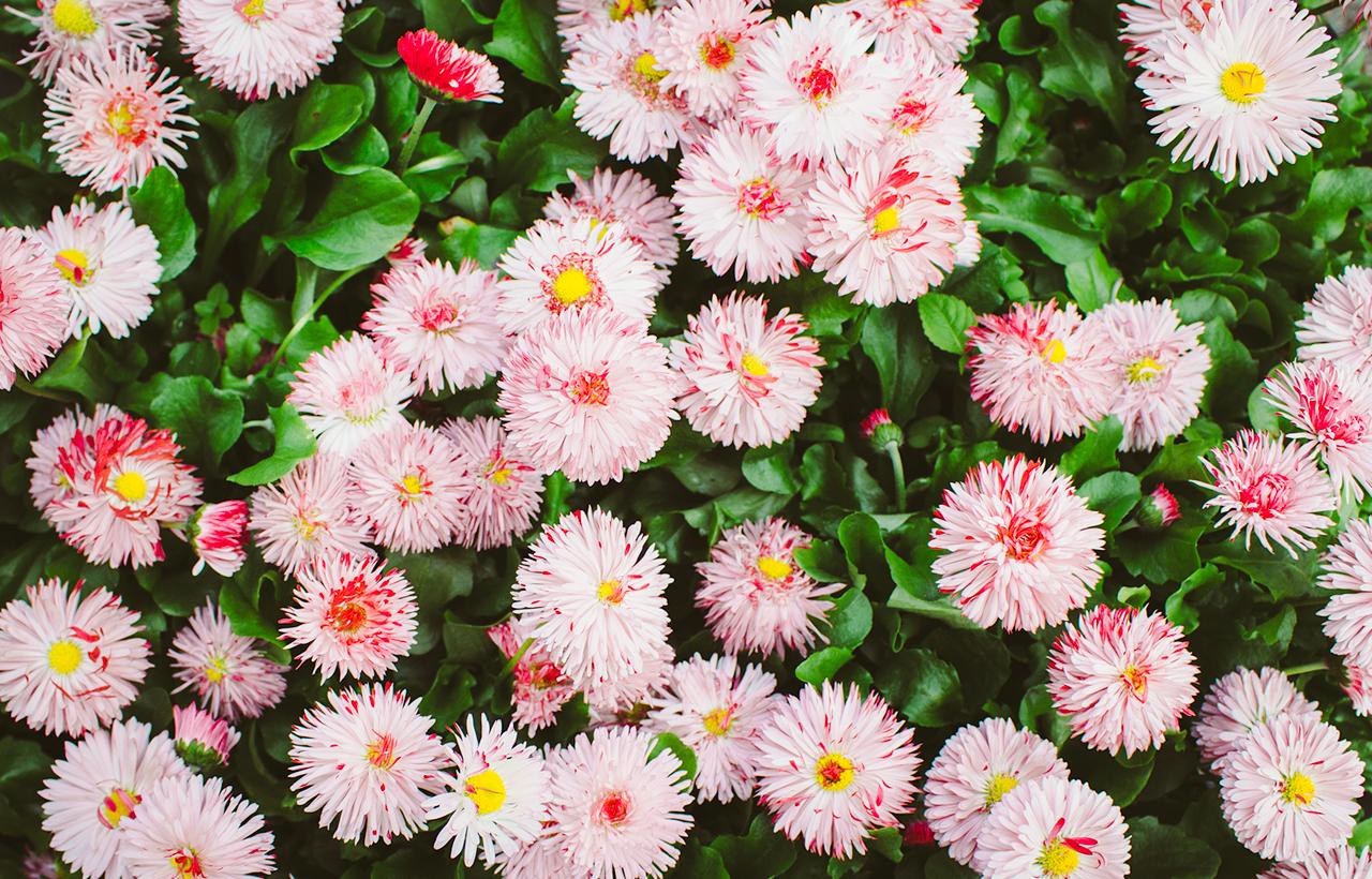 multiflowers